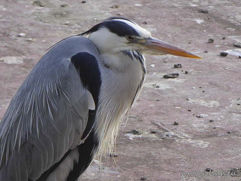 Heron at Hammersmith Reach, West London