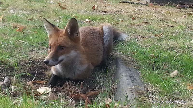 Fox in Brompton Cemetery, London