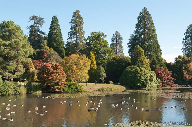 Canada geese at Sheffield Park