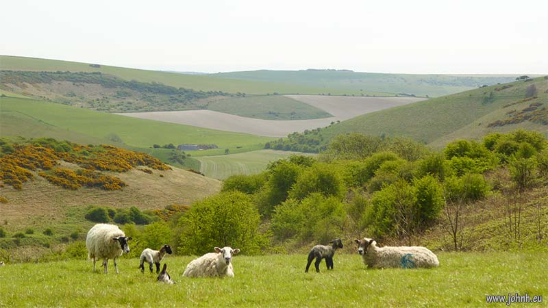 Lambs on the South Downs