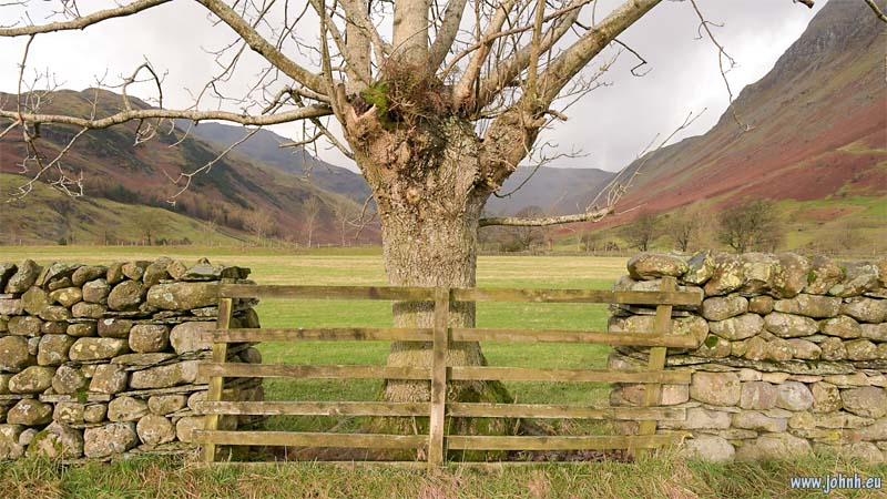 Tree at Stool End farm, Langdale