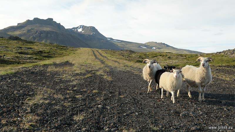 Sheep on the lower slopes of Snæfellsjökull