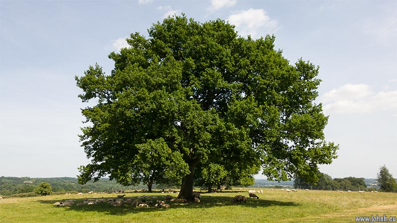 Oak at Nymans, Sussex Weald