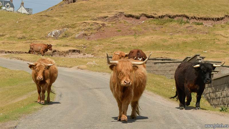 Cows on the Assynt coastal road