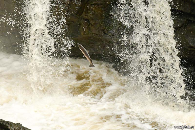 Salamon leap at Rogie Falls