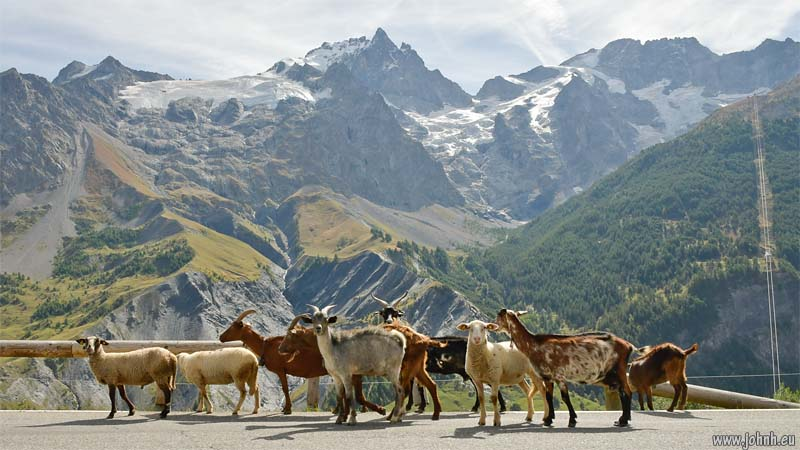 Goats and the glacier of La Meije, Ecrins
