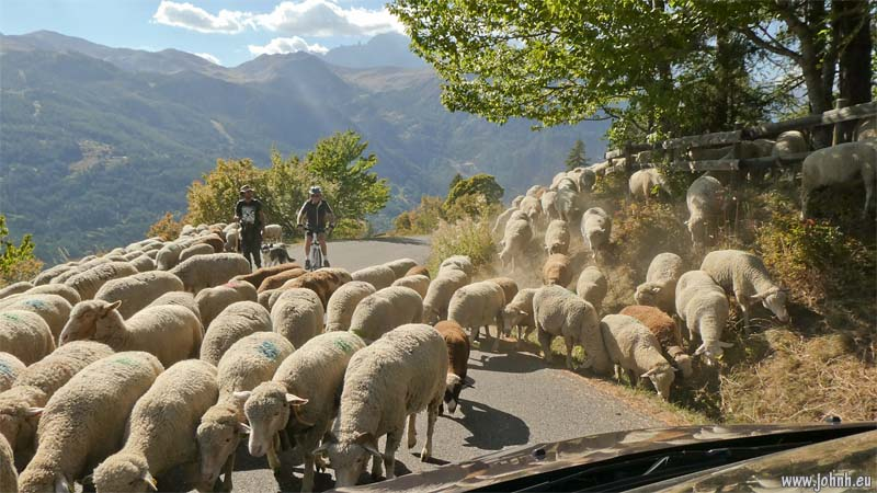 Ambushed by sheep on the road of the Col du Granon