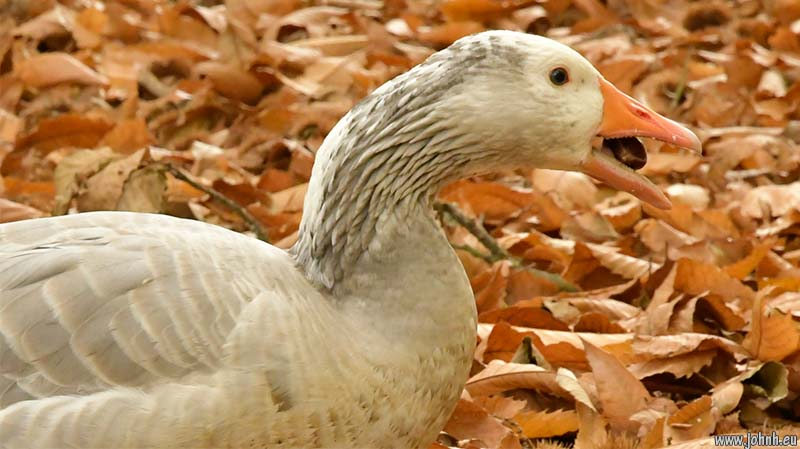 Goose stuffing itself with chestunts at Winkworth Arboretum, Surrey (National Trust)