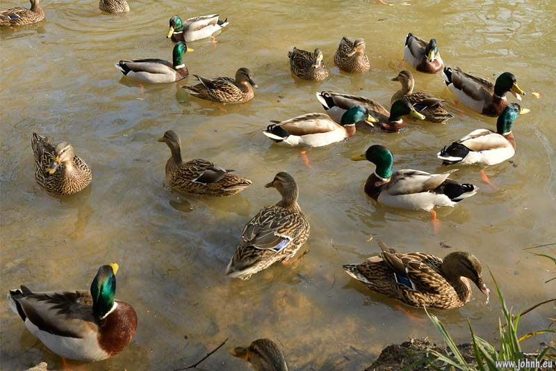 Ducks at Nymans Woods near Crawley.