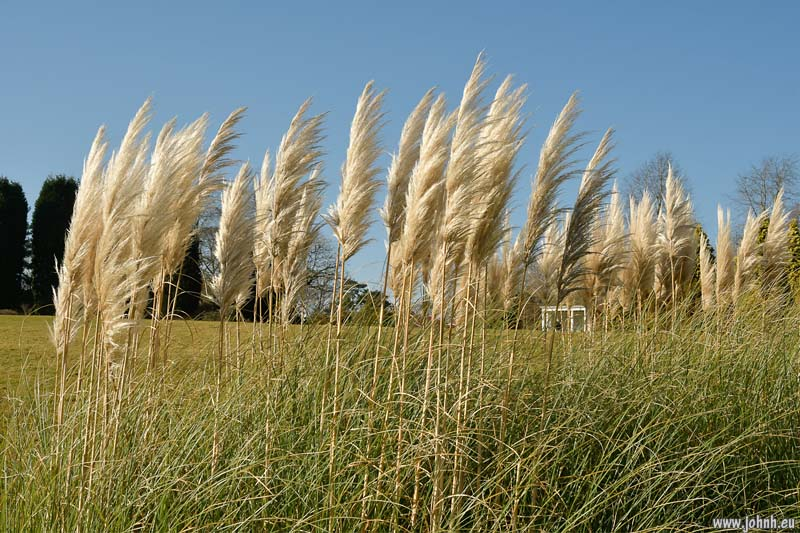 Pampas at Nymans near Crawley.