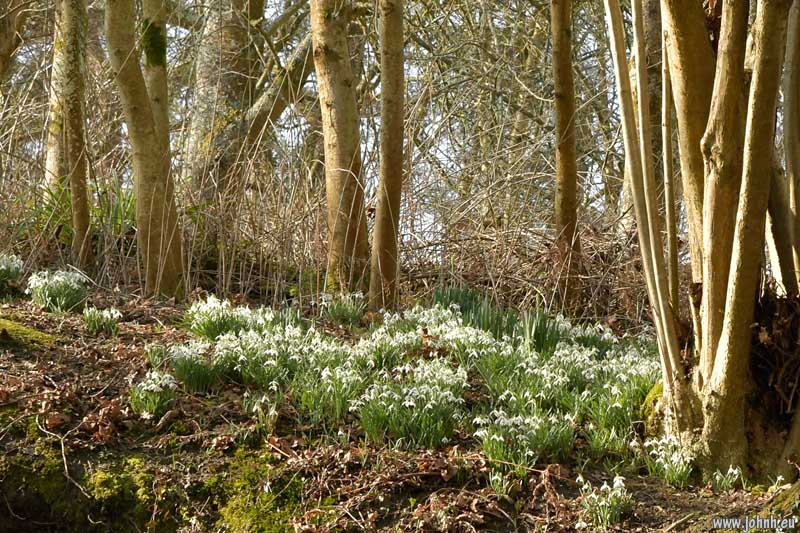 Snowdrops at Nymans, Sussex