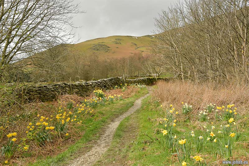 Daffodils near Threlkeld, Cumbria