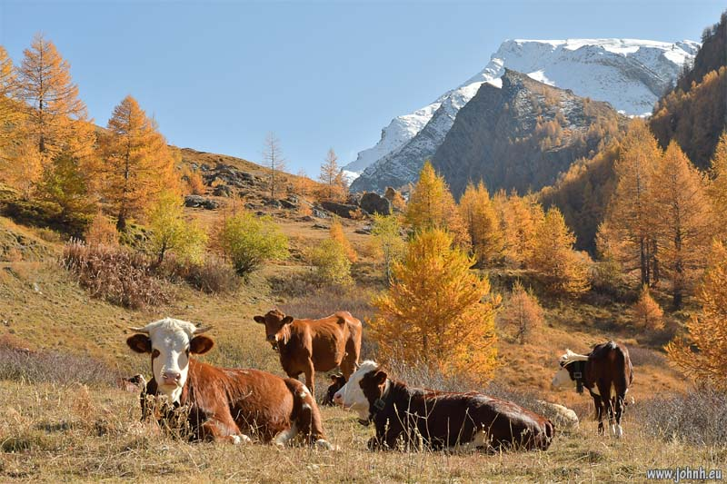 Cows on the Col d'Agnel