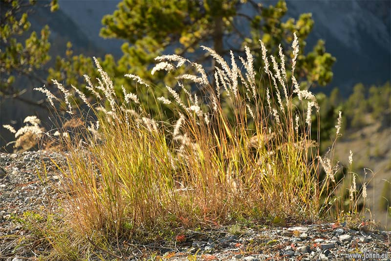 Autumn grasses on the Col d'Izoard