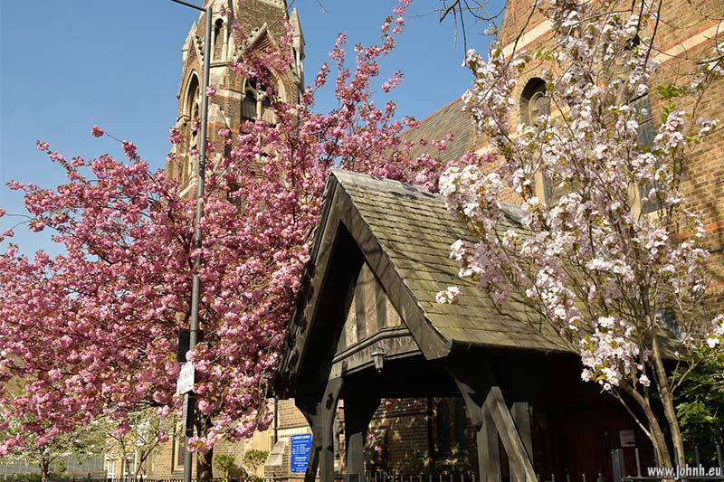 Flowering cherry trees on the streets of Hammersmith and Fulham