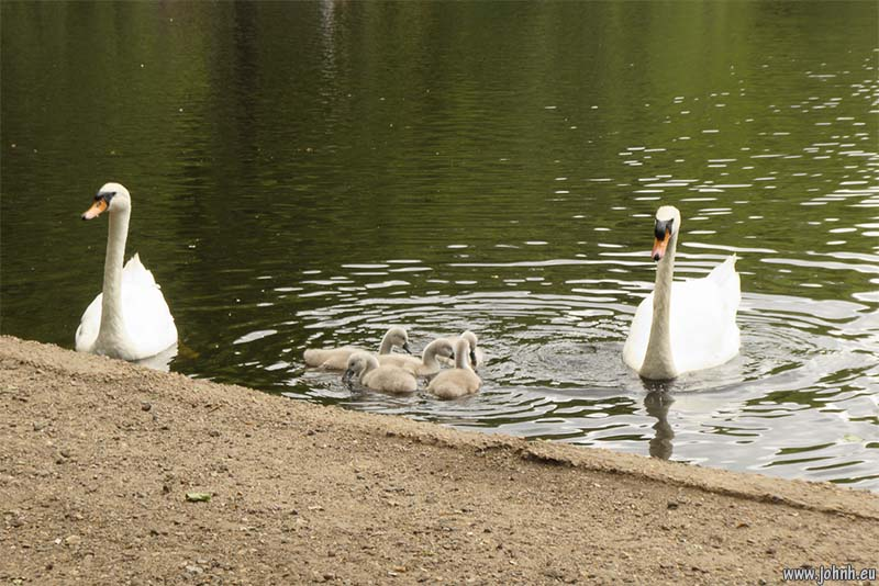 Swans and cygnets, Wimbledon Common