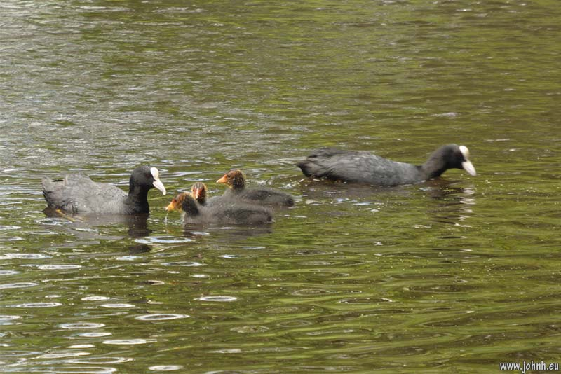 Coots and chicks, Wimbledon Common