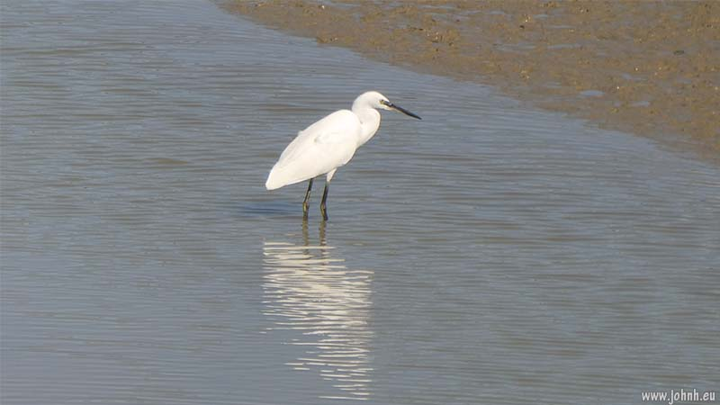 Little Egret in the River Ouse estuary, East Sussex