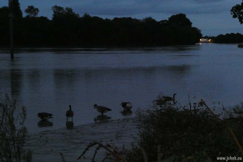 Canada Geese feeding on the rising tide at Chiswick Mall with the lights of Barnes in the distance