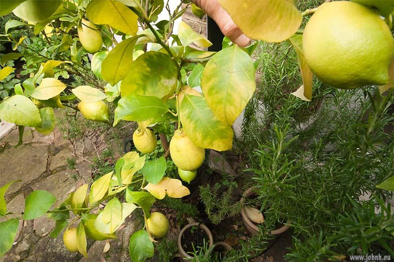 Lemon fruits ripening in my garden in Hammersmith