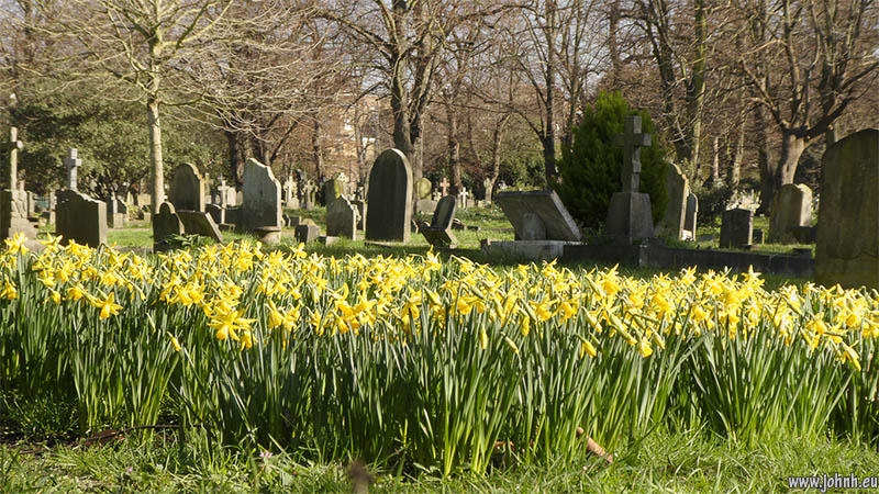 Daffodils in Brompton Cemetery, West London