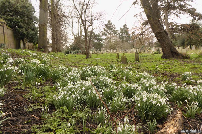 Snowdrops in Brompton Cemetery, West London