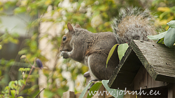 Grey squirrel in my garden