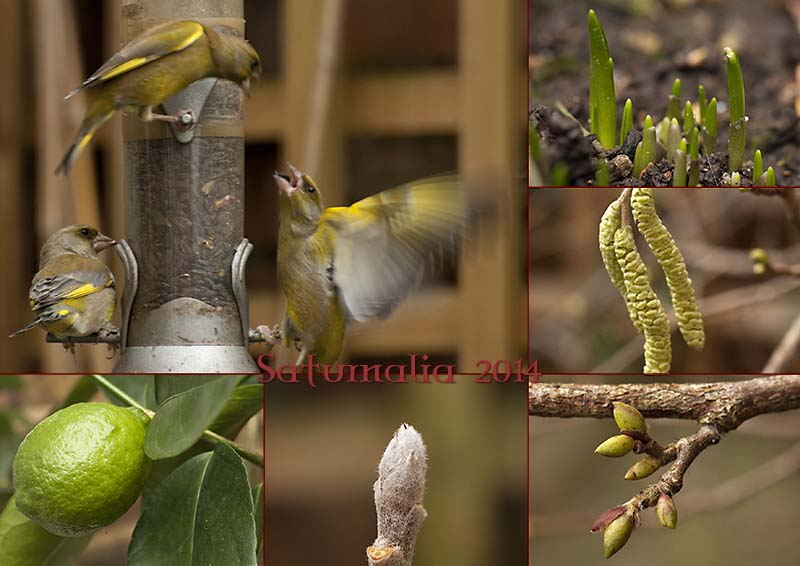 Saturnalia 2014; ferocious finches and sprouting buds in my garden at the winter solstice