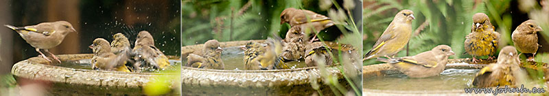 Finches enjoying the bath in my garden