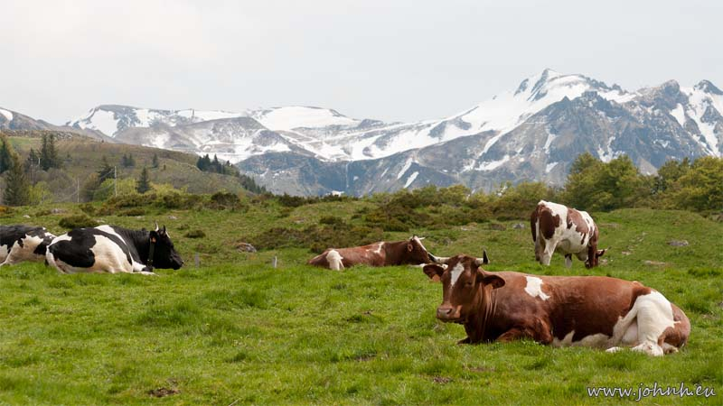 Cows below the Puy de Sancy (1886 m.), in the Auvergne
