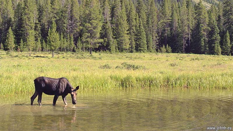 Moose grazing in the Green River, Wyoming